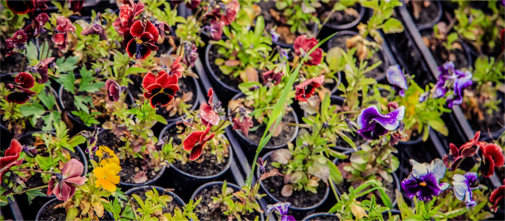 Bratki to symbol wiosny. Te piękne kwiatki już niedługo mogą zdobić i rozweselać Twoje otoczenie.